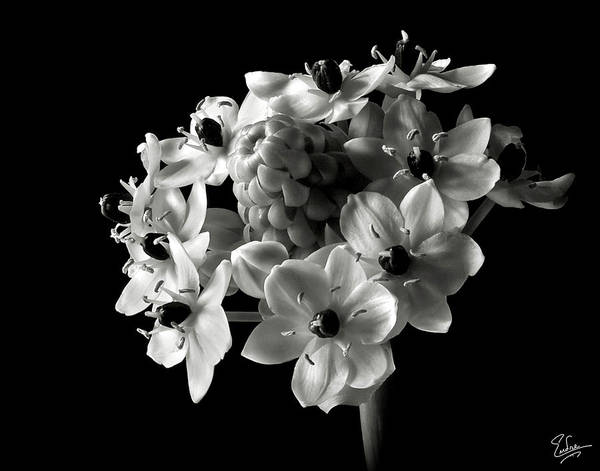 Wall Art - Photograph - Star Of Bethlehem In Black And White by Endre Balogh