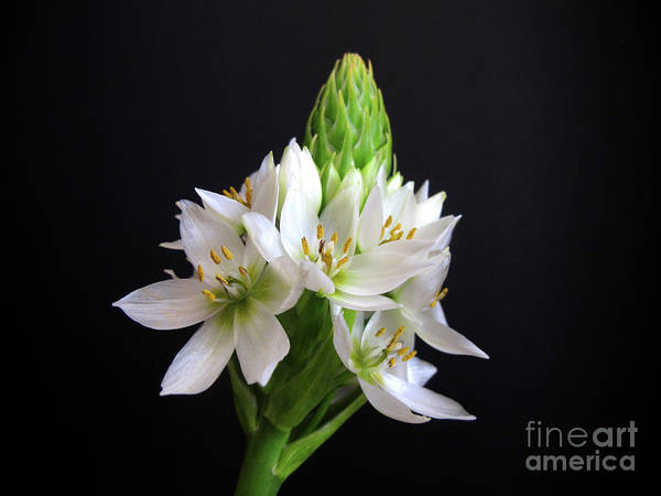Photograph - Star Of Bethlehem by Kelly Holm