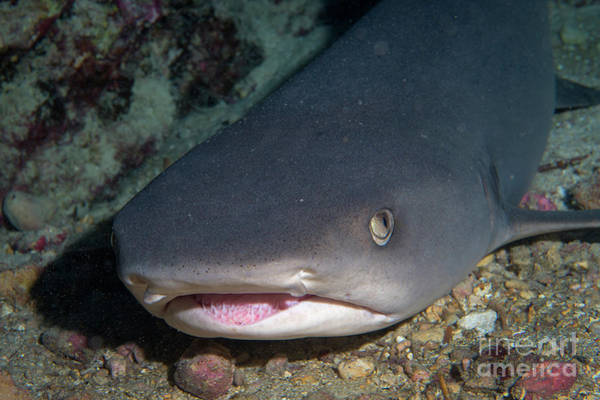 Triaenodon Obesus Photograph - Shark Recess  by Aaron Whittemore