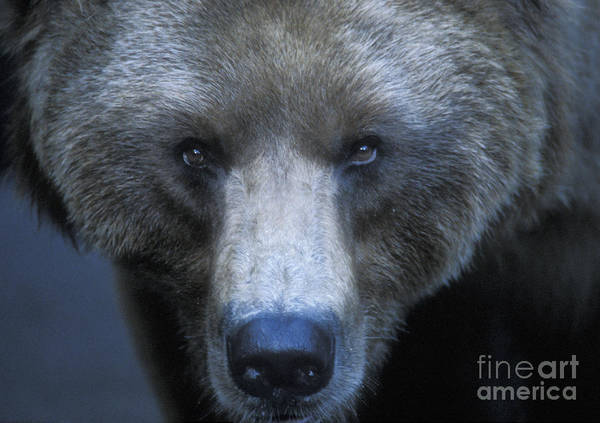 Grizzly Bears Photograph - Stare Down by Sandra Bronstein