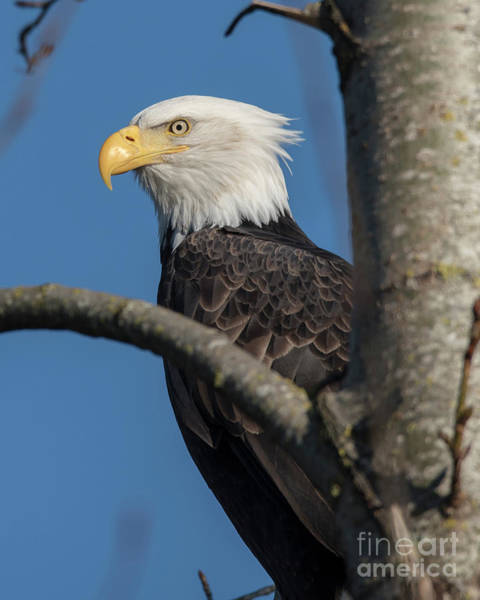 Mission Bc Photograph - Staredown By Eagle  by Rod Wiens
