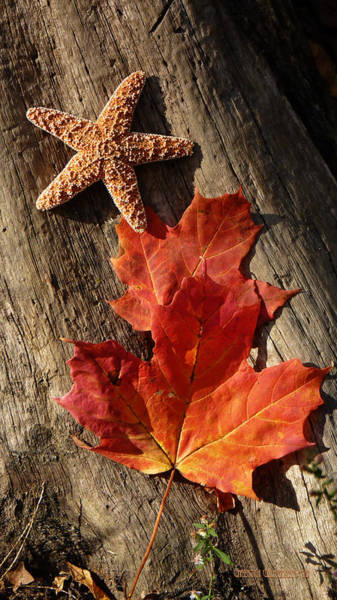 Wall Art - Photograph - Starfish And Maple Leaves by Garth Glazier