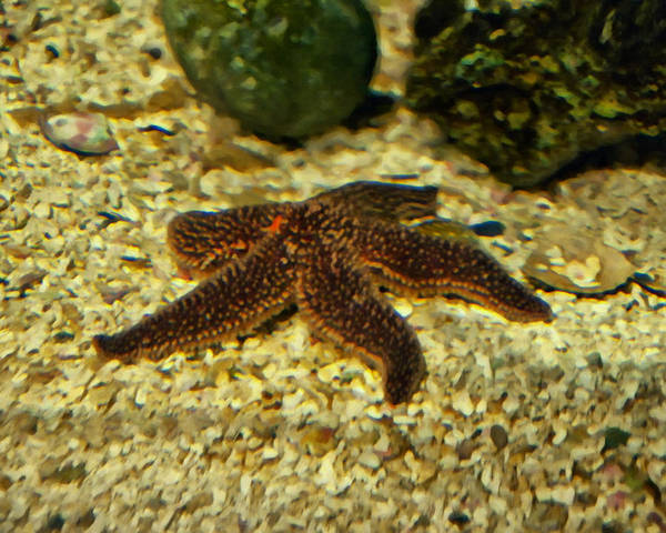 Digital Art - Starfish In The Gravel by Chris Flees