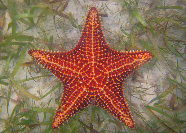Photograph - Starfish by Patti Deters