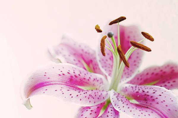 Pink Lily Photograph - Stargazer by Rebecca Cozart