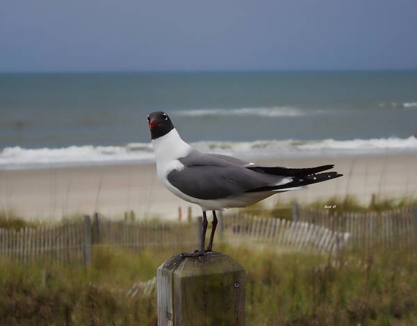 Photograph - Staring At You Seagull by Roberta Byram