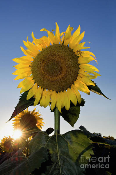 Wall Art - Photograph - Starlight And Sunflowers - D008092 by Daniel Dempster