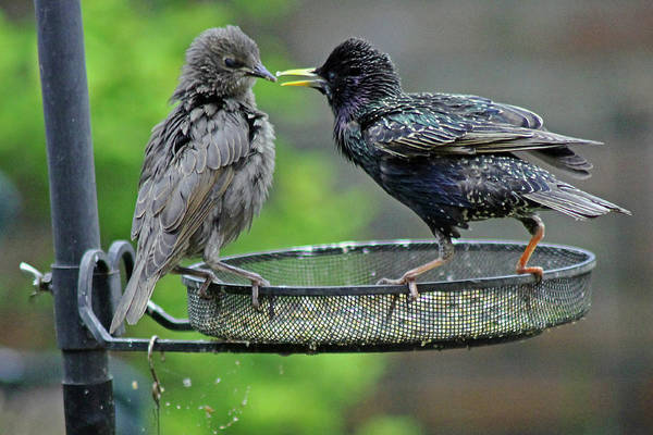 Photograph - Starling Feeding Juvenile by Tony Murtagh