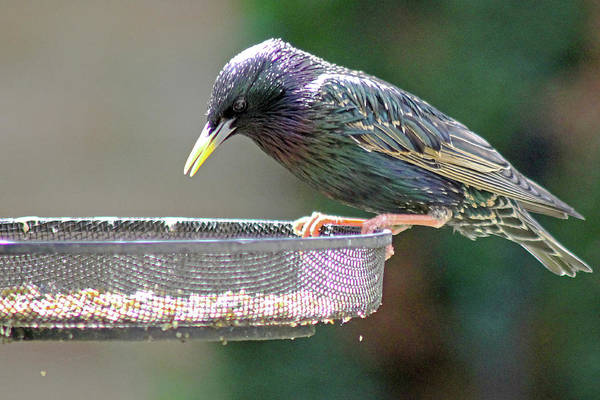 Photograph - Starling Feeding by Tony Murtagh