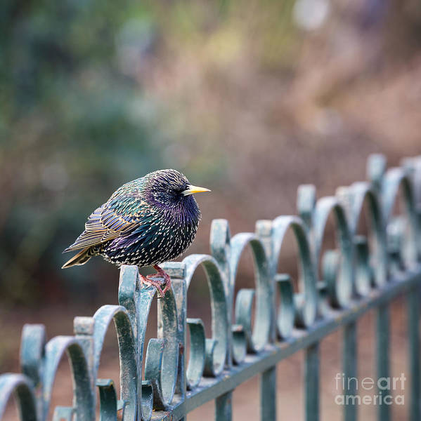 Wall Art - Photograph - Starling Juvenile Male by Jane Rix
