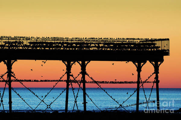 Starlings At Sunset In Aberystwyth Art Print