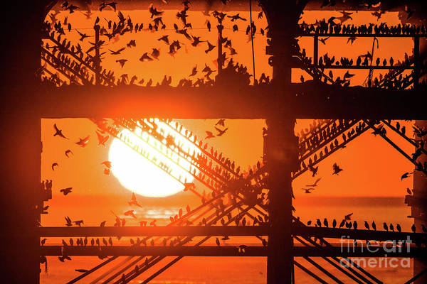Starlings At Sunset Under Aberystwyth Pier Art Print