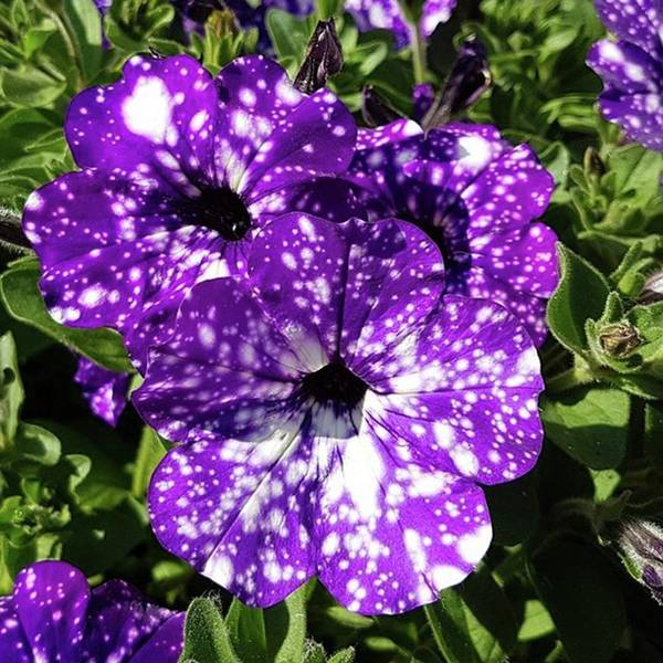 Peace Wall Art - Photograph - Starry Petunias... by Rowena Tutty
