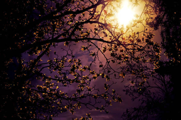 Cherry Trees Photograph - Stars In An Earthly Sky by Vivienne Gucwa