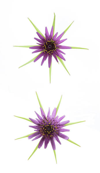Photograph - Stars Of Salsify by Raelene Goddard