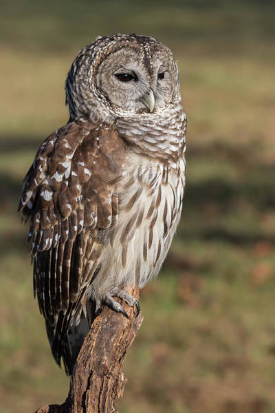 Photograph - Stately Barred Owl by Dawn Currie