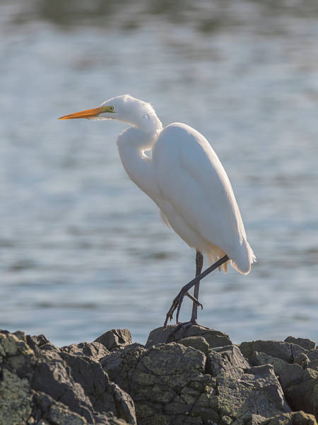 Photograph - Stately Egret by Loree Johnson