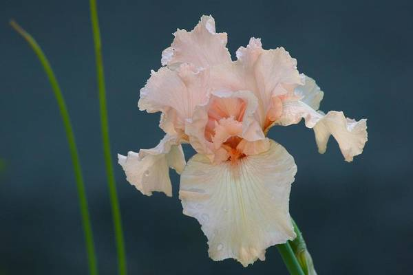Photograph - Stately Peach Iris by Polly Castor