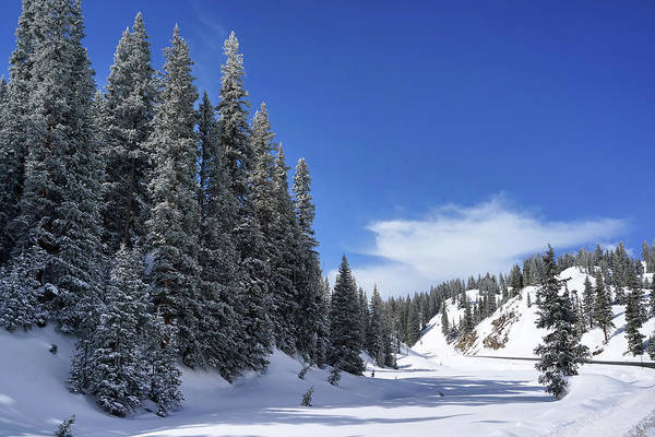 Photograph - Stately Pines by Leda Robertson
