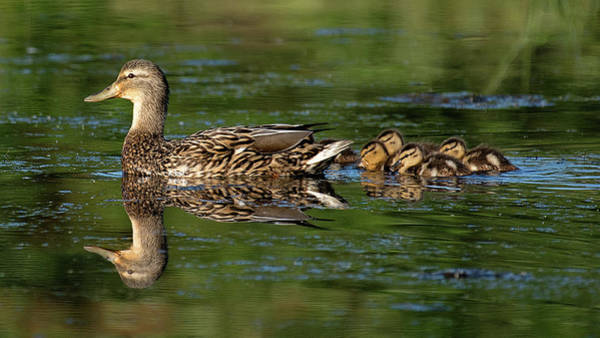 Duckling Photograph - Stay Close by Patrick Campbell