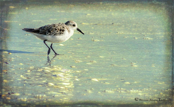 Sandpiper Photograph - Staying Focused by Marvin Spates