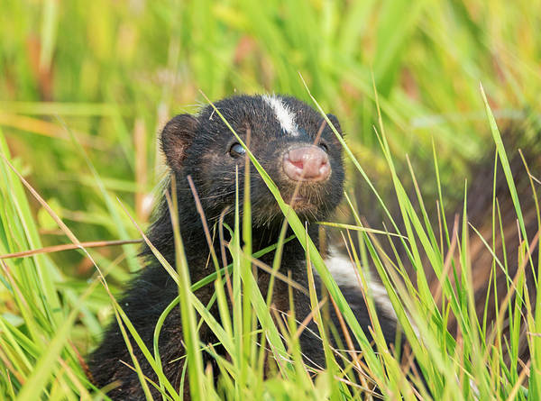 Photograph - Stealth Skunk by Loree Johnson