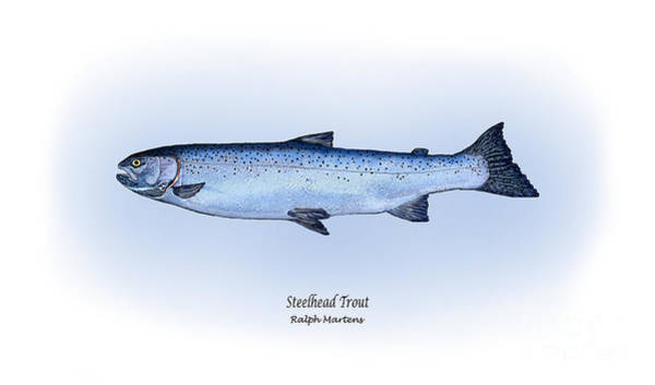 Angling Art Wall Art - Painting - Steelhead Trout by Ralph Martens