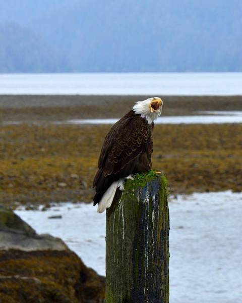 Photograph - Steer Clear Of My Post - Bald Eagle by KJ Swan