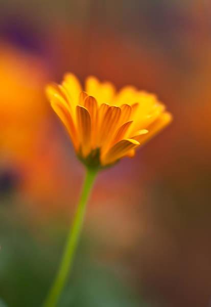 Gerbera Daisy Photograph - Stellar Gerbera by Mike Reid