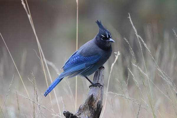 Photograph - Stellar Jay by Margarethe Binkley