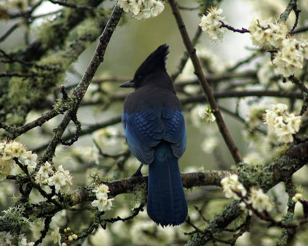 Photograph - Stellars Jay In Dragonfly Forest #2 by Ben Upham III