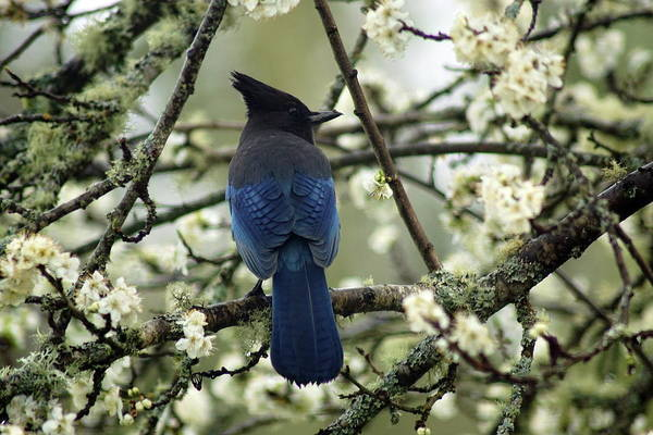 Photograph - Stellars Jay In Dragonfly Forest #3 by Ben Upham III