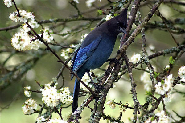 Photograph - Stellars Jay In Dragonfly Forest #5 by Ben Upham III