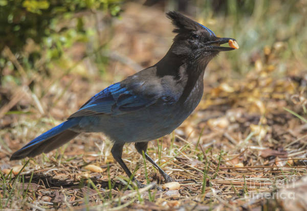 Green Jay Photograph - Steller's Jay 7 by Mitch Shindelbower