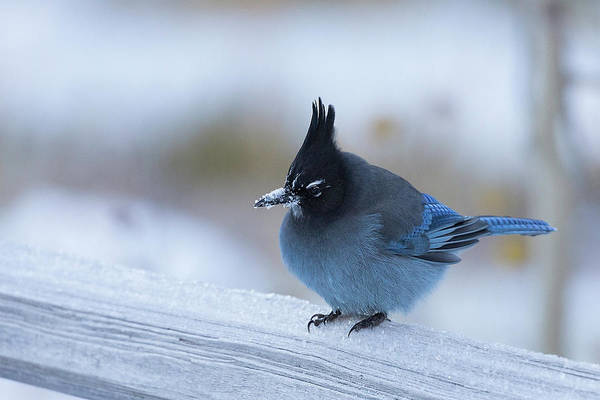 Photograph - Stellers Jay In Winter by Jemmy Archer