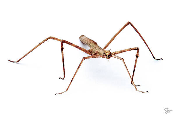 Photograph - Stick Bug Portrait by Endre Balogh
