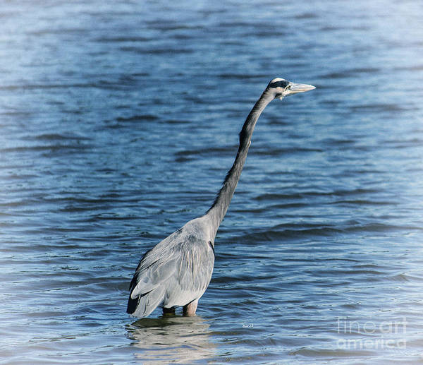 Photograph - Sticking Out Your Neck Heron by Roberta Byram