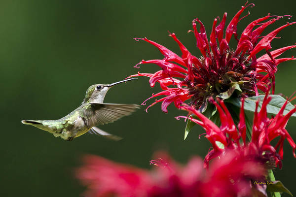 Photograph - Hummingbird Sticky Sweet by Christina Rollo