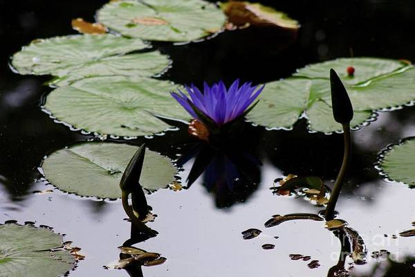 Wall Art - Photograph - Still Blue Water Lily by Gregory E Dean