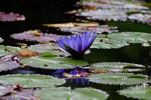 Wall Art - Photograph - Still Water Lily1 by Gregory E Dean