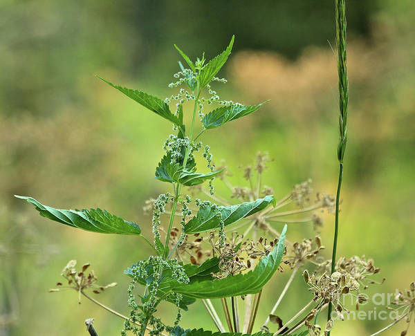 Photograph - Stinging Nettle by Ann E Robson