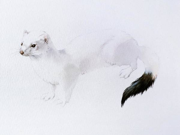 Stoat Watercolor Art Print
