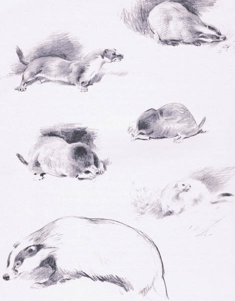 Black And White Nature Drawing - Stoat, Weasel, Badger And Mole by Archibald Thorburn