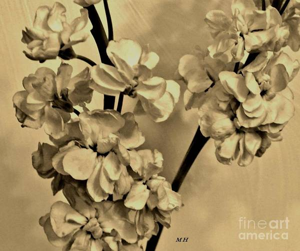 Wall Art - Digital Art -  Sepia Stock Blossoms by Marsha Heiken