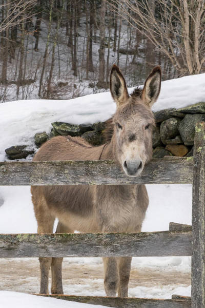 Photograph - Stoic Burro by Tom Singleton