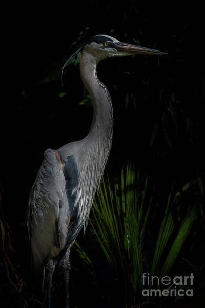 Great Blue Heron Wall Art - Photograph - Stoic by Jeremy Dufault