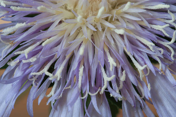 Photograph - Stokes' Aster by Paul Rebmann