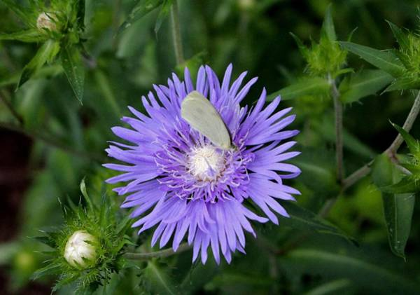 Photograph - Stokes Aster With White Butterfly by Cynthia Guinn