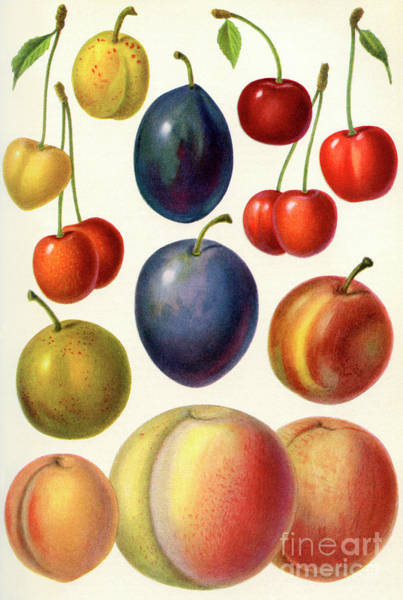 Vegan Painting - Stone Fruit Or Drupes by English School