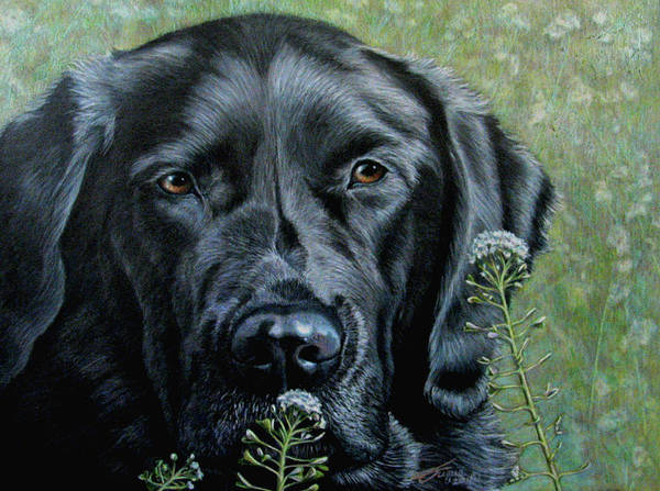Golden Retriever Drawing - Stop And Smell The Flowers by Beverly Fuqua